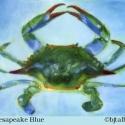 Chesapeake-Blue